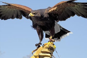 Falconry Display)